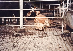 Sick Cow