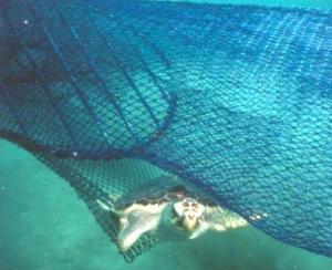 Loggerhead Stuck in Net